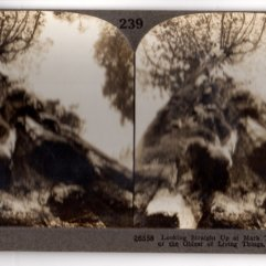 Stereoview Mark Twain Tree