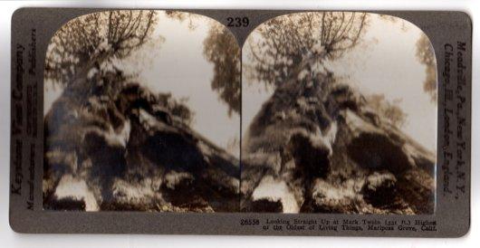 Stereoview Mark Twain Tree